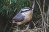 Red-Breasted Nuthatch (zxorg) Tags: nuthatch bird birdonabranch redbreasted