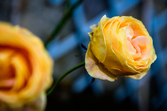 Flowers Softness (NathalieSt) Tags: europe exmes france normandie bassenormandie campagne countryside nature nikon nikond750 nikonpassion nikonphotography orne fleur flower fleurs flowers rose roses jaune yellow blue bleu