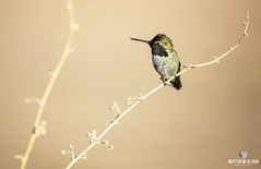 On A Twig (matthewolsonphotography.com) Tags: hummingbird hummingbirds annashummingbird bird birdwatching wildlife animal arizona chandler veteransoasispark desert az birding