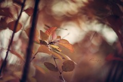 Autumn Rouge (pierfrancescacasadio) Tags: rouge leaves autumn autunno swirlybokeh zenith manual vintage primelenses 85mm helios helios402 novembre2017 10112017840a3253