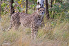 2017-11-09-Beekse_Bergen-0089.jpg (BZD1) Tags: jachtluipaard acinonyxjubatus cheetah natuur beeksebergen nature sbb animal hilvarenbeek noordbrabant nederland nl cat wildcatworld