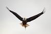 Haliaeetus leucocephalus (Muzzlehatch) Tags: bald eagle hunting soaring flight predator scavenger icon conowingo maryland