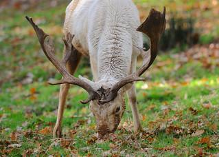 Fallow Deer DSC_0756