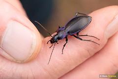 Violet ground beetle (Dom Greves) Tags: carabusproblematicus heathland insect invertebrate november surrey thursleycommon uk violetgroundbeetle wildlife winter