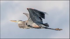 Heron - Odens Dock (MurrayH77) Tags: nc obx hatteras island outer banks