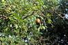 A good year for the cooking pears (Davydutchy) Tags: nijhoarne nieuwehorne fryslân friesland frisia frise nederland netherlands niederlande paysbas par parren peer peren pear birne stoofpeer cookingpears perenboom perelaar tree birnbaum baum fruit obst green leave blad bladeren october 2017