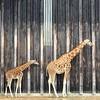 En rang !! (Markjone) Tags: parcdelatêted'or lyon zoo girafe