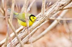 Setophaga citrina - Hooded Warbler (Kyle Lima) Tags: