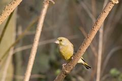 Greenfinch (Chloris chloris) (Baldyal) Tags: bird wildlife tree bush venuspool shropshire