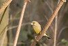 Greenfinch (Chloris chloris) (Baldyal) Tags: bird wildlife tree bush venuspool shropshire