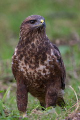 Common Buzzard (Mr F1) Tags: wild buzzard common raptor johnfanning bop birdsofprey woodland wales uk detail