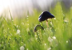 IMG_4147a (thistas) Tags: champignons macro nature bokeh