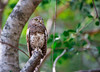 Barred Owlet (Mike/Claire) Tags: africanbarredowlet 2016 southafrica tandatula timbavati
