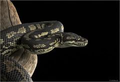 Carpet Python (adecoleman) Tags: reptiles snake carpetpython captivelight milesherbert studio