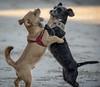 Hachiko y Trufa (Iago López Losada) Tags: dog doglover perros mascotas amor jugando nikon sigma love invierno live autumm animales animal archivo