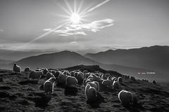 Preparados para la noche (Jabi Artaraz) Tags: jabiartaraz jartaraz zb euskoflickr urkiolamendi saibi montaña ovejas sheep rebaño ardiak nature natur naturesfinest natureselegantshots naturaleza natural naturessilhouettes