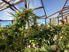 IMG_6208 (CannaPsy) Tags: medicalcannabis medicalmarijuana cannabis organic sungrown truelivingorganics notill weed ganja herb dank caliweed cleanmeds ecofriendly legalization warondrugs prohibition