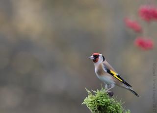 2017 325-365 Goldfinch
