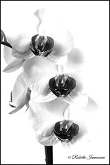 (Roby_wan_kenoby (the only one)) Tags: orchidea orchid fiore flower fiori flowers bianco nero blackandwhite bn biancoenero blacknwhite canon eos