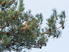 Parrot Crossbill Santon Downham 26-11-2017-6715 (seandarcy2) Tags: crossbill parrott santon downham suffolk uk birds nordic