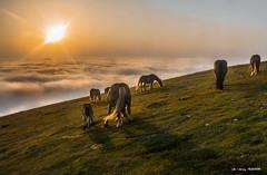 A 1.450 m de altitud (Jabi Artaraz) Tags: jabiartaraz jartaraz gorbea horse amanecer alba sunset sunrise yeguas pottokas potros potrillos paz pax bakea lasaitasunanature antur naturesfinest