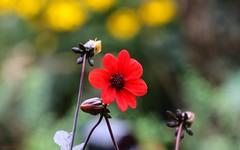 Flower - 4155 (YᗩSᗰIᘉᗴ HᗴᘉS +13 000 000 thx) Tags: flower flora fleur red bokeh bokehlicious beyondbokeh yellow jaune rouge vert green nature hensyasmine yasminehens 7dwf