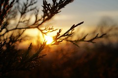 Juniper Sunrise (SkyeHar) Tags: sunrise sunlight sun juniper tree dawn light shadow outside sky bokeh sonya6300 sel50f18s macro nature naturaleza natural natur dof pov contrast brown