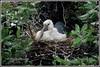 7361 - openbill stork chick (chandrasekaran a 44 lakhs views Thanks to all) Tags: chick openbillstork birds nature nelapattu india ap canon powershotsx60hs nest