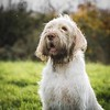 Hendrix (Forty-9) Tags: ef70200mmf28lisiiusm eos60d spinone lightroom eflens chatsworth canon italianspinone portrait december 01122017 forty9 holiday hendrix friday 1stdecember2017 dog tomoskay