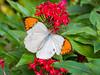 Hebomoia glaucippe, ツマベニチョウ (yuyugreen) Tags: japan osaka 日本 大阪 butterfly 蝶 insect 昆虫 虫