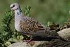 _98A3361rulaeuropea (nomaRags) Tags: rula tórtola europea streptopelia turtur european trtle dove paloma pájaro bird