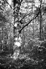 Tree (25/8) Tags: olympus xa kodak trix ilfotecddx