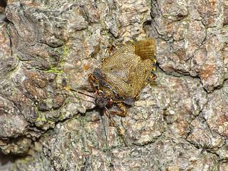 Bronze Shieldbug (Troilus luridus)