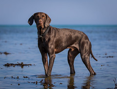 Bruno (Paul`s dog photography) Tags: gsp germanshorthairedpointer rescuedog greece ef70200mm canoneos7dmkii caringfortheanimalstrust carat