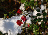 """Snow in Alabama? (crimsontideguy-from """"Sweet Home Alabama"""" USA) Tags: snow rose alabama alabamathebeautiful flowers fall winterstorm photoshop nikon natue storms southern usa nikond7500"""