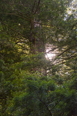 21157-giant redwood (oliver.dodd) Tags: california redwoods avenueofthegiants park norcal northerncalifornia