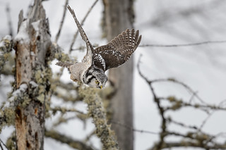 Northern Hawk Owl-45684.jpg
