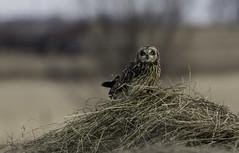short eared owl (kallo39) Tags: shortearedowl owl