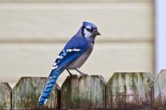 Blue Jay (Cyanocitta cristata) (BiteYourBum.Com Photography) Tags: dawnandjim dawnjim biteyourbum biteyourbumcom copyright©2017biteyourbumcom copyright©biteyourbumcom allrightsreserved canoneos7d canonefs60mmf28macrousm sigma50500mmf4563dgoshsm canonef1740mmf4lusm apple imac5k lightroom5 madison alabama usa blue jay cyanocitta cristata bluejay cyanocittacristata