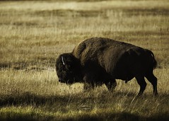 Young Bull (mtmelody14) Tags: animal buffalo bison bull yellowstonepark