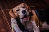 Yawning (BrenBlur) Tags: beagle dog sweet