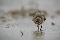 Distant Migrant (miTsu-llaneous) Tags: bird animal wildlife dark rainy overcast morning migrant whiterumpedsandpiper calidrisfuscicollis sandpiper shorebird nature