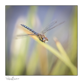 Migrant Hawker dragonfly hawking [Explored]