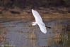 Airone bianco maggiore _009 (Rolando CRINITI) Tags: aironebiancomaggiore uccelli uccello birds ornitologia racconigi natura