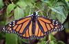 monarch butterfly (Fat Burns ☮ (on/off)) Tags: monarchbutterfly nymphalidaedanainae butterfly orangebutterfly fauna australianfauna nikond500 sigma150600mmf563dgoshsmsports oxleycreekcommon brisbane qiueensland australia