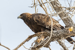 Golden Eagle leans into the wind