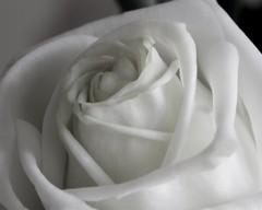 Macro White Rose 😁❤👧 (LeanneHall3 :-)) Tags: rose white rosepetal petals macrotubes macro closeup closeupphotography flower flowersarebeautiful flowersarefabulous flowerflowerflower canon 1300d