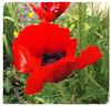 ~ Poppy for Andrea ~ (A4ANGHARAD) Tags: andrea nurse nhs royalliverpoolhospital2017 fuji sl240 macevans a4angharad ward3adaycare