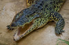 """Crocodile Dundée "" à Alligator bay ( 50 Beauvoir , normandie ) (miguel photos 35400) Tags: crocodile alligator bay manche beauvoir"