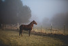Trimming Up (The Noisy Plume) Tags: horse fog equine autumn mist fall pasture farm peruivanpaso